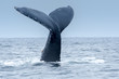 Humpback Whale in Puerto Lopez, Ecuador - 71016468