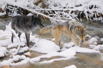 Wolves Crossing A River