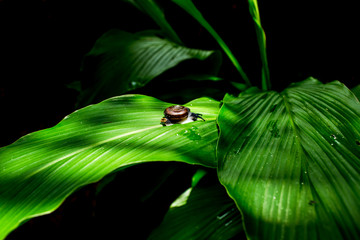 Snail climbing on green leaf with black tone background concept.