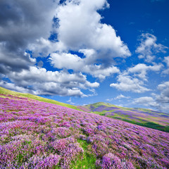 Colorful hill slope covered by violet heather flowers