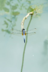 Dragonfly holding on dry branch.