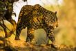 Jaguar Walking in Shade Closeup