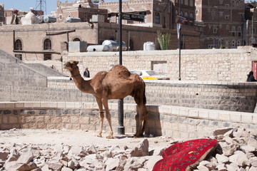 Camel tied up in old town Sanaa, Yemen