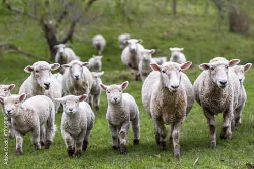 Sheep and Lambs - 71019810