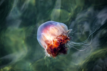 Jellyfish, Seydisfjordur Iceland10