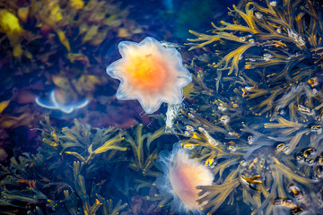 Jellyfish, Seydisfjordur Iceland31