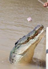 jumping crocodiles Aidelaide river Australia