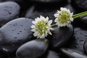 Two white flower and wet stones