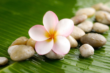 frangipani and pile of stones on wet banana leaf
