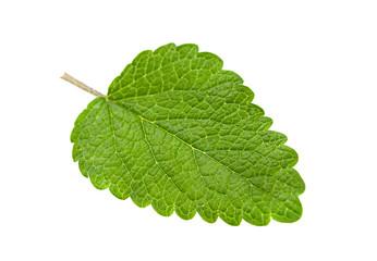 Lemon melissa leaf