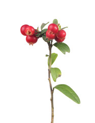 green leaves and red cowberries on small branch