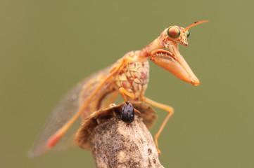 Mantide con testa di formica attaccata