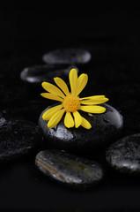 Yellow gerbera flowers on pebbles-wet background