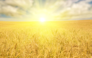 golden wheat sea under bright sun