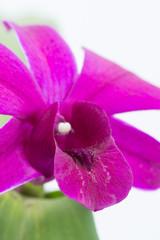 Purple Dendrobium Orchid Close-up