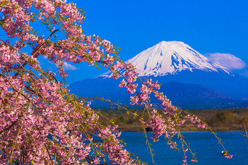 Mount Fuji and Weeping cherry blossom
