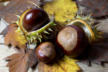 Fresh Shiny Chestnuts with Open Husk on Brown Autumn Leaves