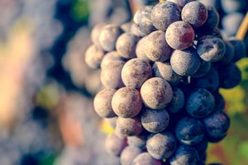dettaglio di grappolo di uva da vino