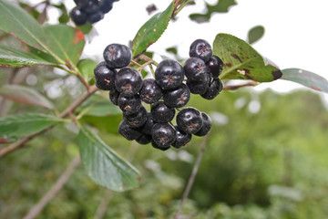 Bunch of black chokeberry fruit - Aronia melanocarpa.