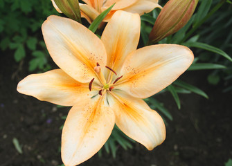 Graceful lily flowers - Lilium