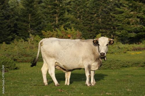 Papiers peints Vache Vache gasconne et veau,Pyrénées