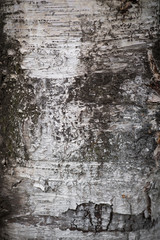 Birch bark close-up. Selective focus.