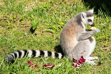 Lemure catta adulto che mangia