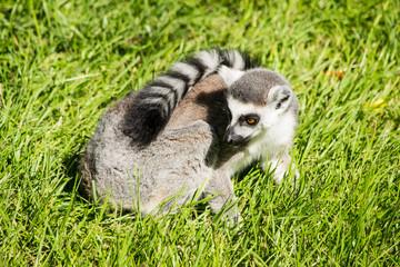 Lemure catta adulto