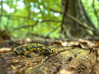 Salamandra Salamandra in Natural Old Forest Habitat