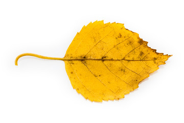 Isolated Yellow Autumn Leaf