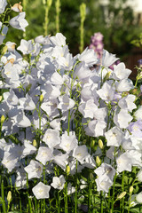 Campanula or canterbury bells flowers