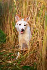 white-red fox