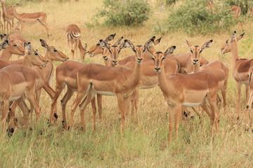 gruppo di impala mammiffero selvaggio della savana africa