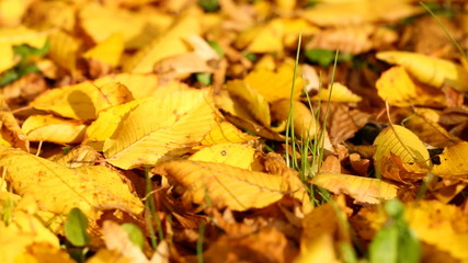 autumn leaves on the ground (dolly shot)