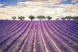 Fototapety Beautiful Lavender field