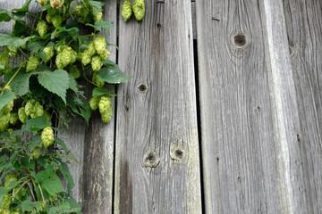 Hopfenfruechte an einer Holzwand