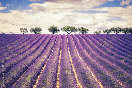 Beautiful Lavender field