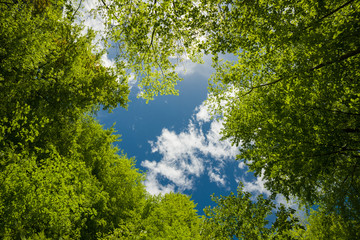 Lush green foliage and sky with clouds in the forest in spring