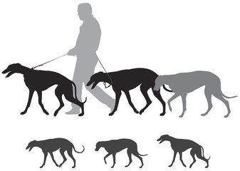 Hunting hound dogs walk, Greyhound Walks
