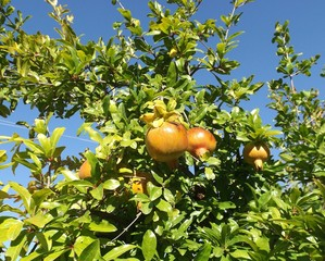 Pomegranate fruits on the tree in summer garden