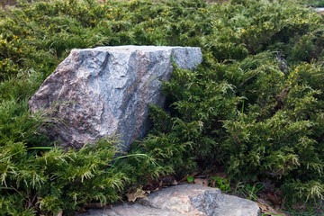 Evergreen juniper branches near the gray stones