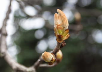 Tender bud of the European chestnut tree