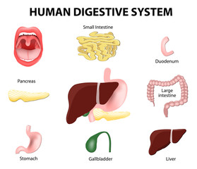Human Digestive System. Set