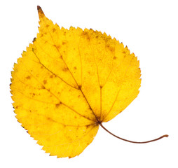 Linden yellow leaf isolated