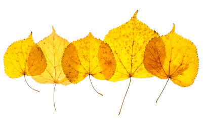 Linden yellow leaves isolated