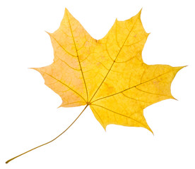 Maple  yellow leaf isolated