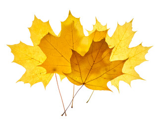 Maple yellow leaves isolated