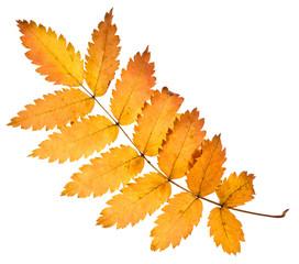 Rowan yellow leaf isolated