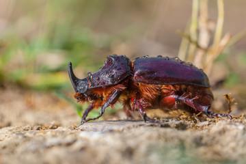 European Rhinoceros Beetle on the Forest Floor
