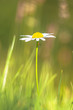 Lonely White Daisy (Leucanthemum vulgare) in a Green Agricultura